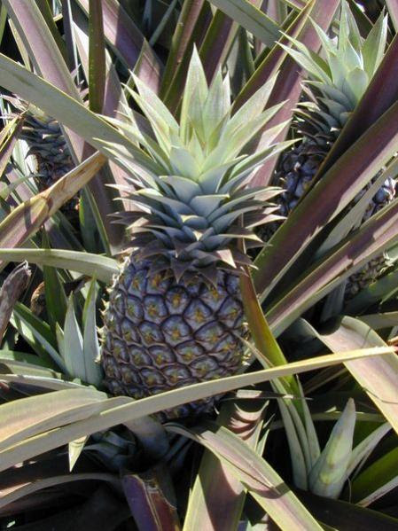 Name:  Ananas.jpg Views: 22680 Size:  58.7 KB
