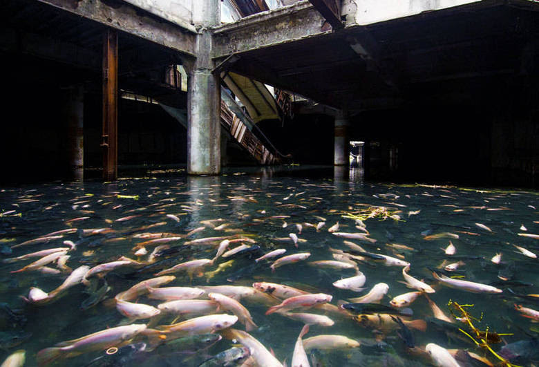Isso é o que restou do shopping New World, em Bancoc, na Tailândia. O local, fechado em 1997, ficou caindo aos pedaços após um incêndio ocorrido dois anos depois. Abandonado pelo governo da Tailândia, ele acabou inundado por causa das fortes chuvas que caem nessa região do sudeste da Ásia. A lama e a água atraíram insetos. Alguns sem-teto que vivem ao lado do imóvel gigante jogaram peixes no lado que se formou ali. Queriam tentar acabar com os mosquitos. Os peixes se multiplicaram e o lugar virou o aquário mais bizarro e tenebroso do mundo
