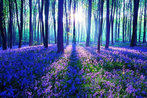 Purple Haze, The Black Forest, Germany