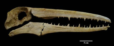 Nuevo cráneo en exhibición por los 91 años del museo de historia natural UNMSM
