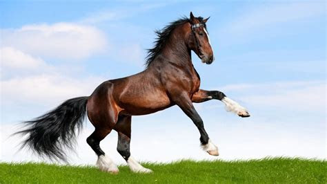 Large Black Horse Running In A Field Of Green Grass