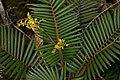 Calamus gibbsianus.jpg