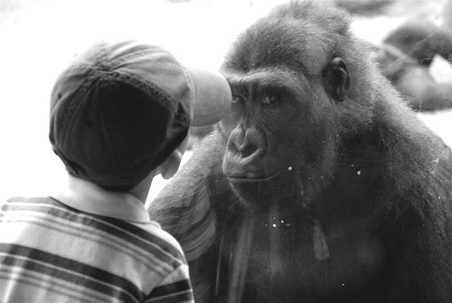 Little Boy Meets Gorilla One on One