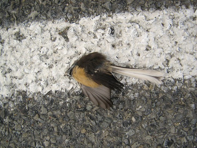 road kill fantail