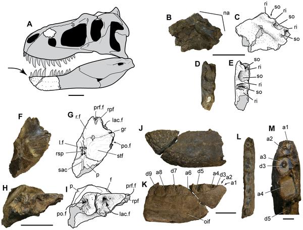 Figure 3 Nanuqsaurus hoglundi, holotype, DMNH 21461. A