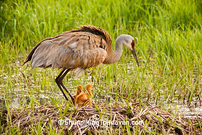 Sandhill Crane with Chicks, Dane County, Wisconsin