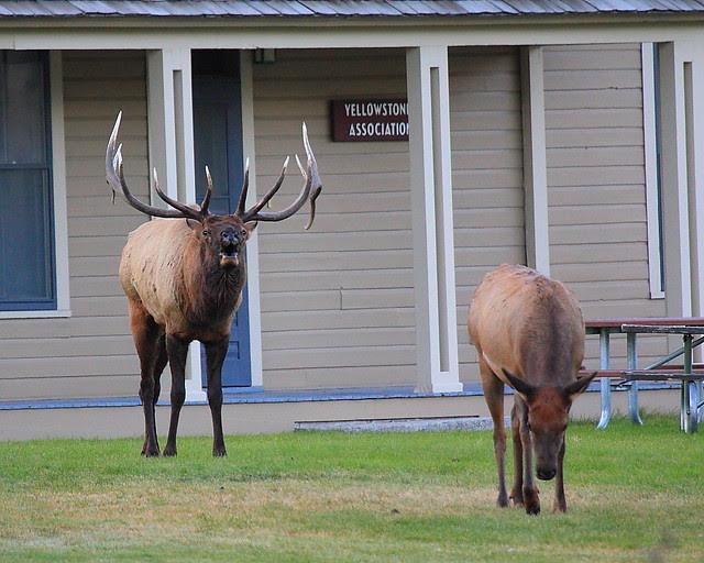 IMG_0118 Bull Elk Bugling, Mammoth Hot Springs