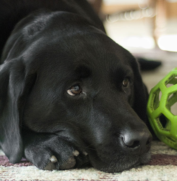 English AKC Black Lab Puppies for sale in Kansas USA