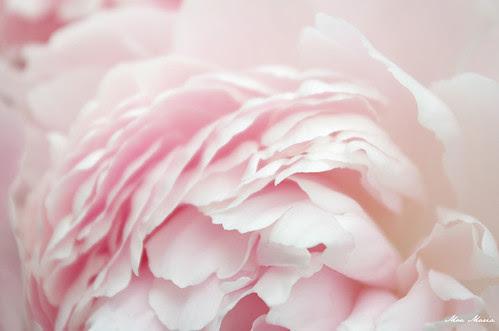 Pink peonies VI