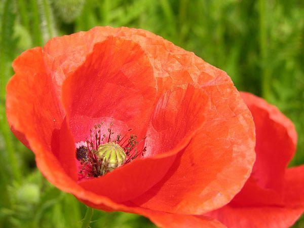 230-plantas-medicinales-mas-efectivas-y-sus-usos-amapola-flor