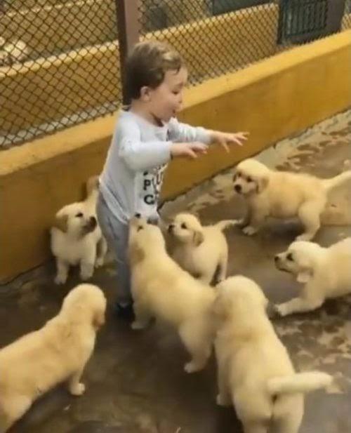 El tierno ataque de mimos y cosquillas de 7 cachorritos Golden Retriever a un pequeño de 2 años