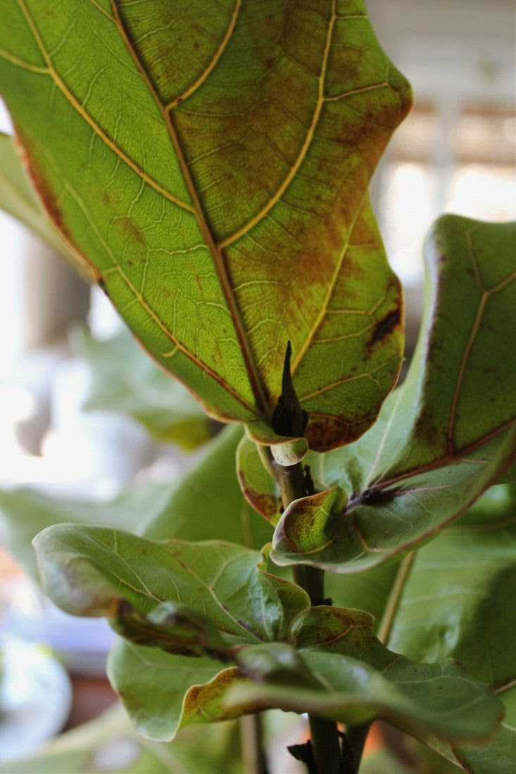 7 Secrets: How to Save a Dying Fiddle Leaf Fig Tree