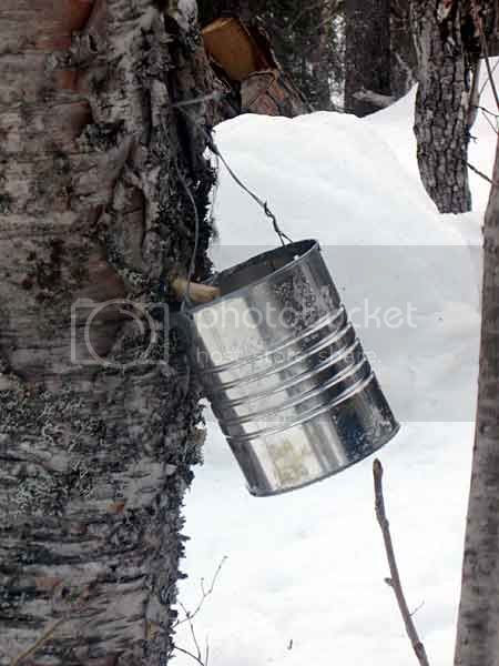 Collecting Birch Sap-1