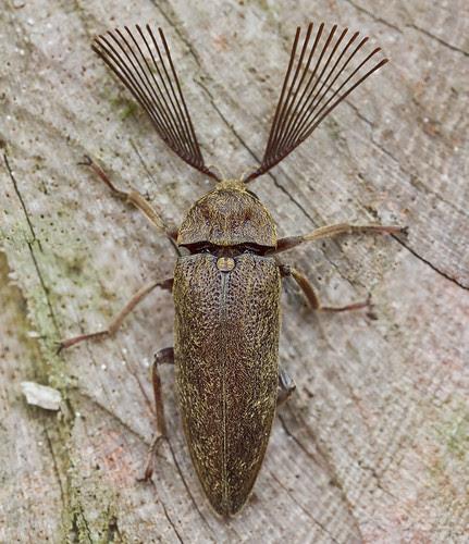 male click beetle,  Callirhipidae, Elateridae IMG_1528 merged copy