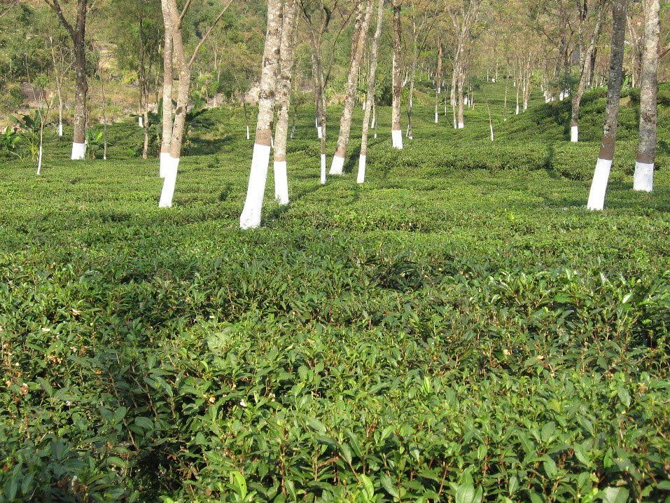 Landscape view of Tumsong T.E. – one of the quality Darjeeling T.E. under the management of Rational Farming Technology.
