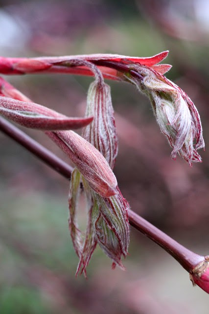 japanese maple buds, april 2011