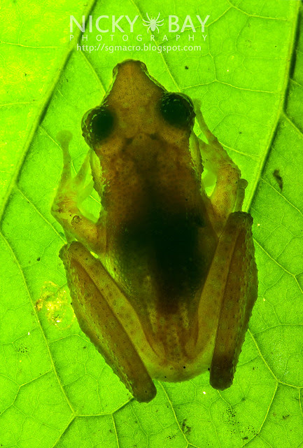 Spotted Tree Frog (Nyctixalus pictus) - DSC_0582
