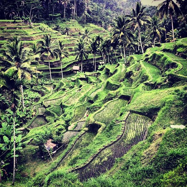 Beautiful #ubud #travel #bali  Padi fields.