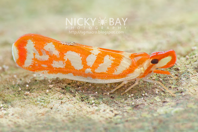 Planthopper (Fulgoromorpha) - DSC_7784