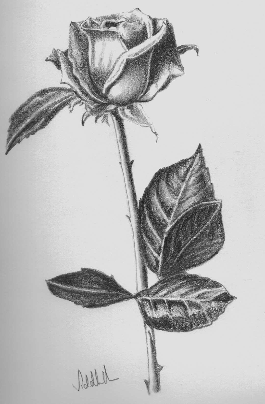 Lukisan Bunga Ros Pensil