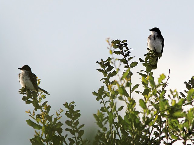 Eastern Kingbirds 20130917