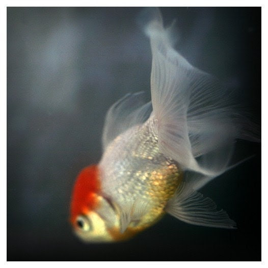 Nature Photography - Fish Art - Goldfish  Photograph - Fine Art Photograph - Light and Shadow 6 -  Alicia Bock Photography - AliciaBock