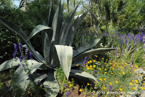 Agave and wildflowers at Rain Lily Farm