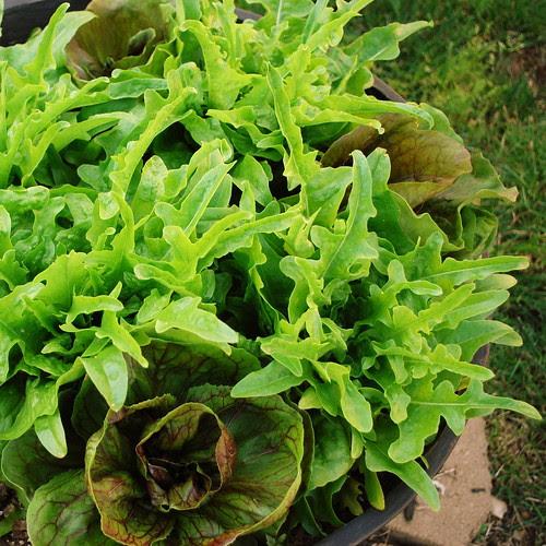 first lettuce crop