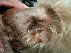 dog odor due to infection in dog ear