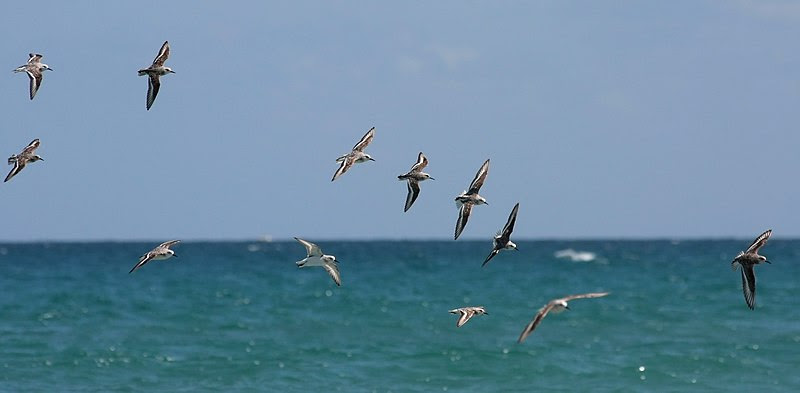 File:Calidris alba flock in flight.jpg