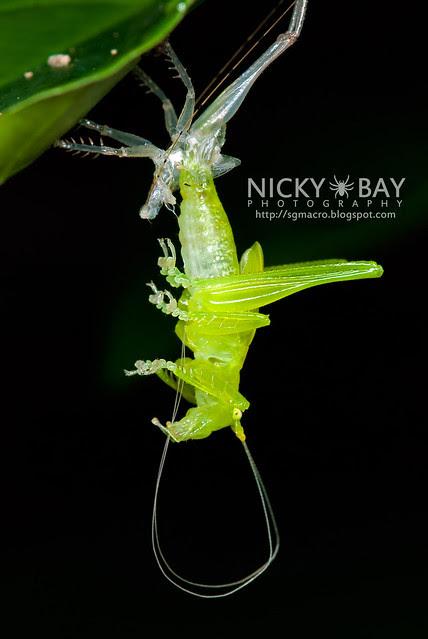 Katydid (Tettigoniidae) - DSC_0550