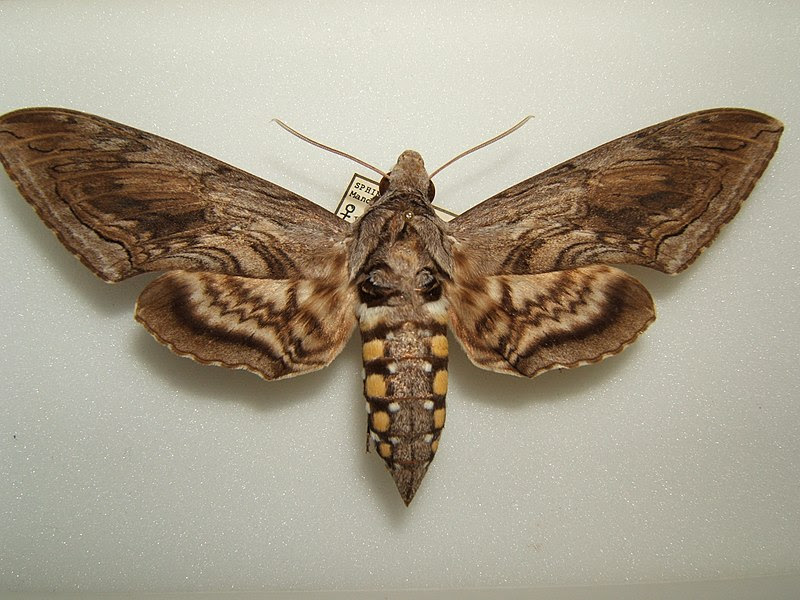 File:Manduca quinquemaculata adult female.JPG