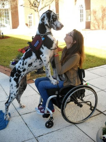 """Jade's former service dog Katie developed bone cancer and had to be putto sleep in November of 2011, right around the time Jade was due to graduate from college.Jade had hoped to walk across the graduation stage with Katie, without whom it would be nearly impossible to stand. A week after putting Katie to sleep, Jade said that life without a Dane was not anoption, and appeared at the Service Dog Project'sfarm with her mother. They were both determined to find another match for Jade. SDP accepted the challenge - Jade had only a week before flying back to college for graduation, and she hoped to walk across the stagewith her new dog in front of 3000 people. The only dog that was anywhere near trained enough at SDP was a breeding female house dog named Pistol. SDP put Pistol through theADI public access test immediately with no problem, and Jade and Pistol bonded right away. Here is Jade's account of her college graduation with Pistol: """"Pistol could not have done better at graduation!We made it up and down the stage slowly but surely without any issue.There were over 3000 people there and everyone there cheered for us. The announcer even announced her name with mine as we walked across the stage.On the way out we went down a long hall lined with 100 faculty members cheering andringing cowbells. She was againunfazed -that may have been the most impressivepart."""""""