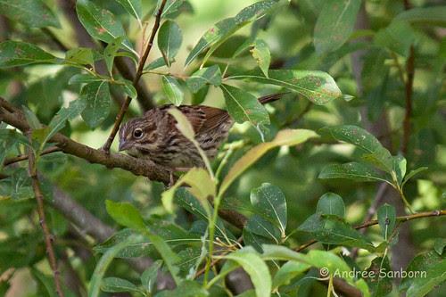 Song Sparrow (Melospiza melodia)-2.jpg