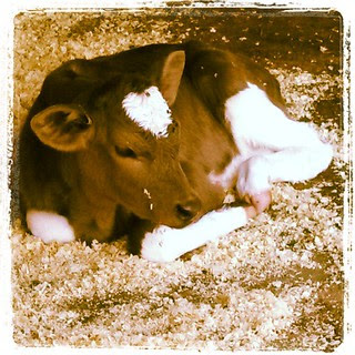 Baby Moo, take 2 because he was #toocute #newhampshire #farmanimals #cow