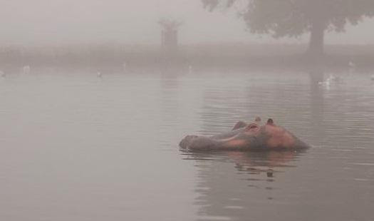 Bushy Park's Hippo: Adult hippos can weigh 1,500kg (Credit: Susan Lindenberg)