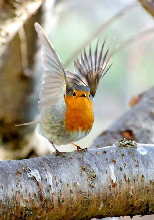 European Robin (original taken by Alberto Maria Melis; source here: http://www.flickr.com/photos/albertomelis/6938428099/in/set-72157629081973568#)