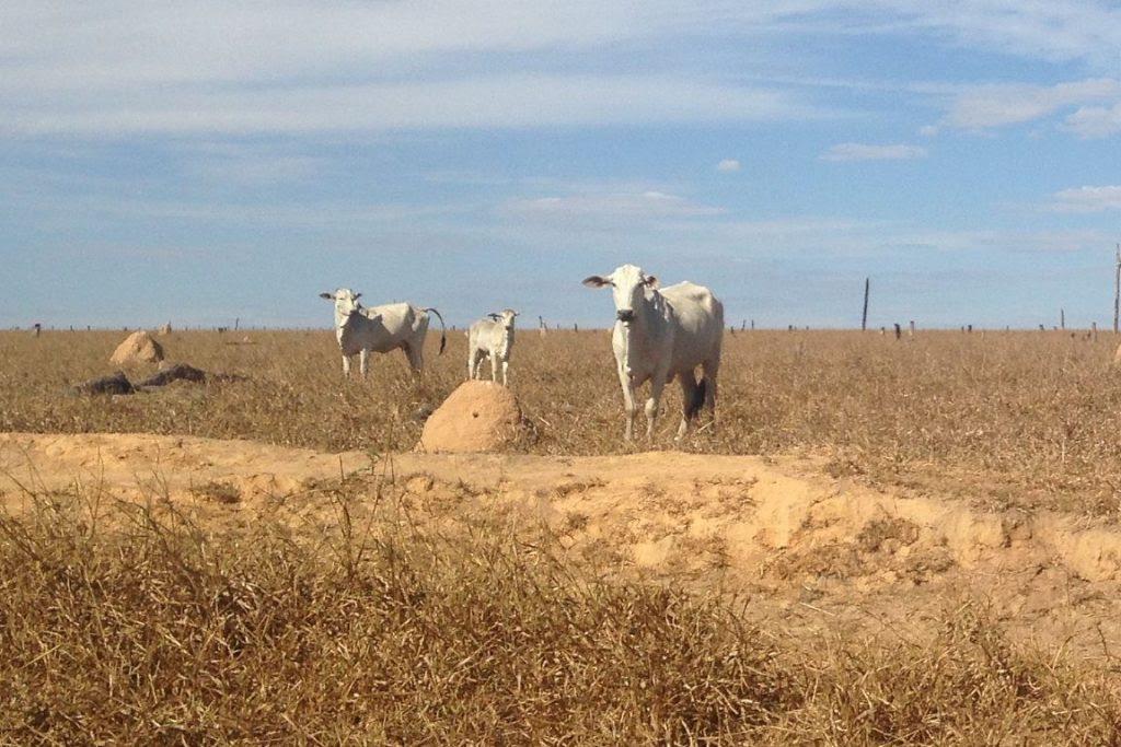 Gado em pasto degradado na Amazônia: rebanho bovino lidera emissões de metano do Brasil. Foto: Ipam