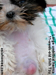 Shih Tzu umbilical hernia 11 weeks old - serious condition now
