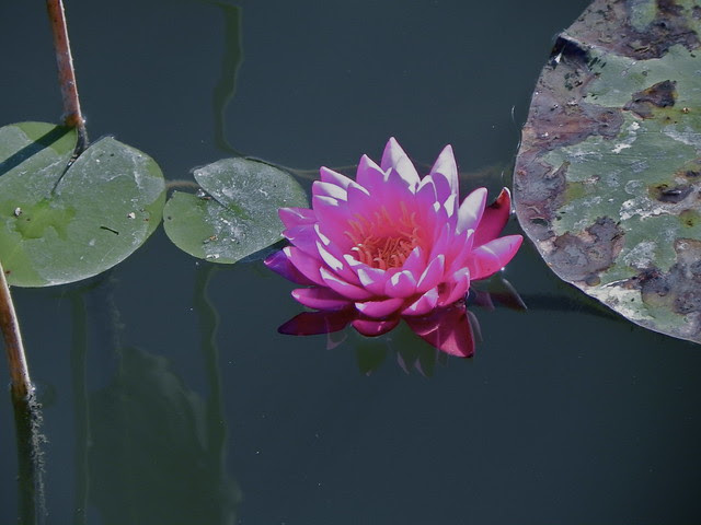 Water lily, Humboldt Park, Chicago. Credit: Richard Pallardy