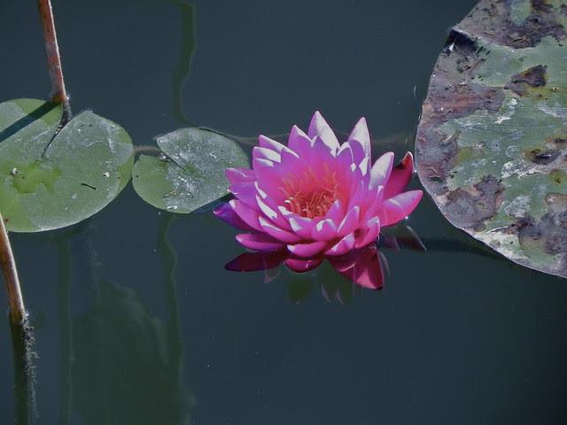 Water lily, Humboldt Park, Chicago. Credit: Richard Pallardy