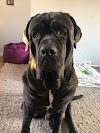 Blake – 18 month old male Neopolitan Mastiff cross Cane Corso
