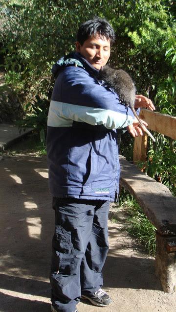 Apréciese el gran tamaño de la chinchilla arborícola de Machu Picchu. Foto: Roberto Quispe.