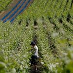 Épernay: ça recrute dans les vignes