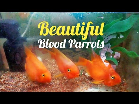 Curious Red Blood Parrots (Blood Parrot Fish)