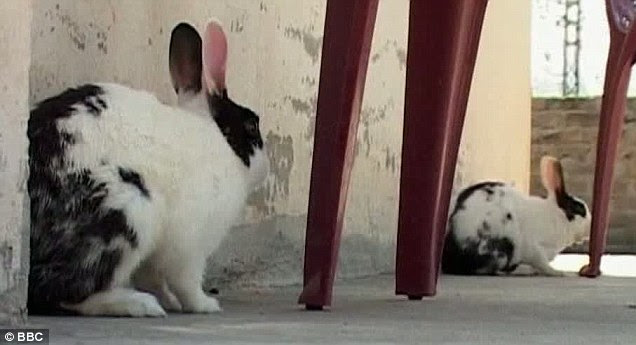 Osama bunny-laden: These are the two rabbits which Zarar Ahmed claimed were given to him by the Al Qaeda chief