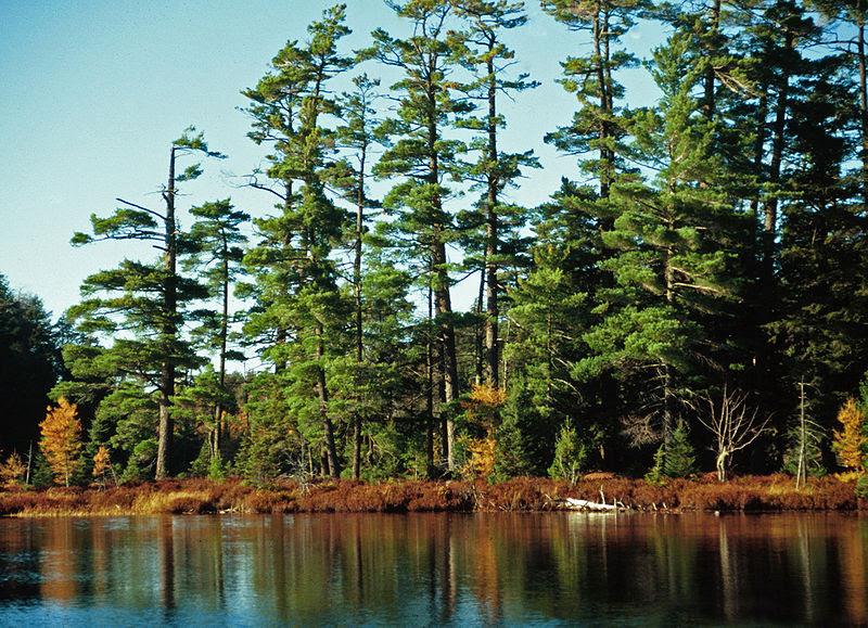 Pinus strobus Syvania