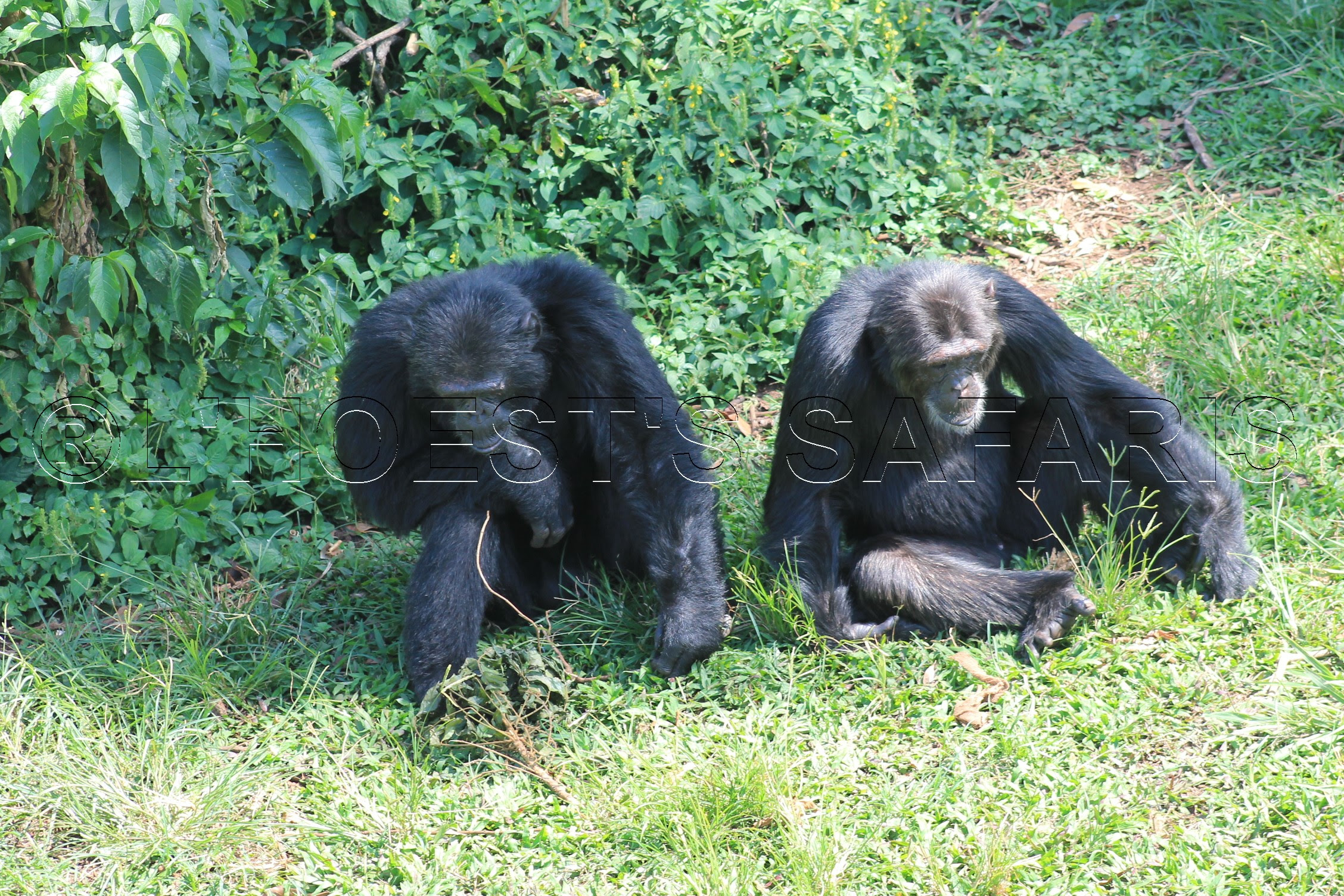 8 days Chimpanzee habituation experience kibale