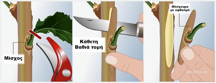 Πως να κανετε εμβολιασμο (μπόλιασμα) σε καρποφόρα δέντρα στην κήπο σας - Εμβολιασμός Τύπου Τ -Αφαίρεση μοσχεύματος