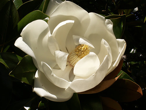 http://upload.wikimedia.org/wikipedia/commons/f/f9/Magnolia_grandiflora1Stuart_Yeates.jpg